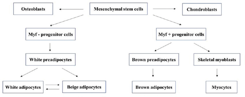 Figure 1: Development of brown adipose tissue